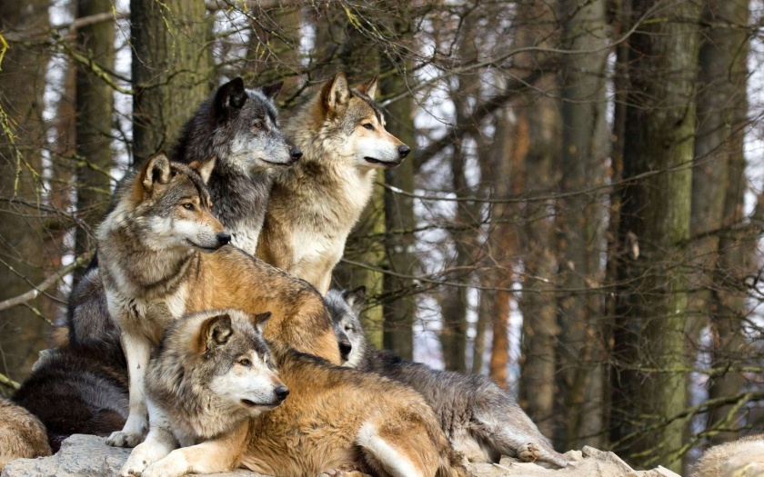 Wolves Pictures
